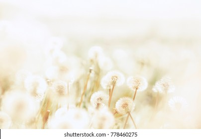 Spring background with light transparent flowers dandelions at sunset in pastel light golden tones macro with soft focus. Delicate airy elegant artistic image of nature, pastel colored