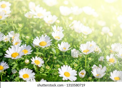 Spring Background with meadow of chamomile flowers. Beautiful Blooming meadow in sunny day