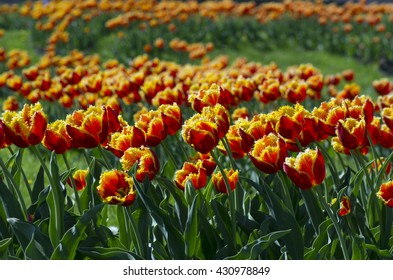 Spring background with tulips over natural background