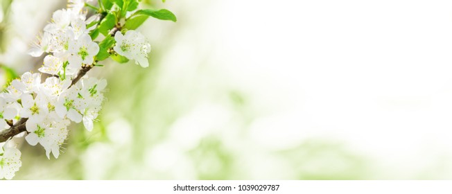 Spring background, white blossoms before Bokeh as banner