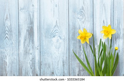Spring background with Yellow daffodils flowers on blue wood texture. Beautiful Nature Rustic background. Web banner With Copy Space