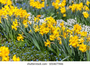 Spring background with yellow daffodils growing in the garden