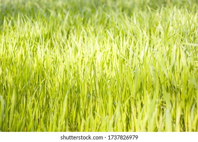 Spring background - young blades of grain. Field - natural blurry background.