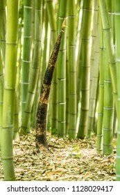 Spring Bamboo shoot in the middle of a forest.