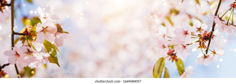 Spring banner with pink cherry blossom and blue sky. Background with bokeh and copy space.