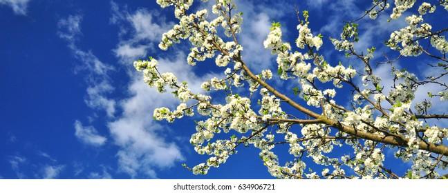 Spring banner tree flowers sky