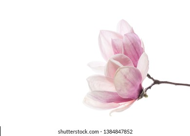 spring beautiful blooming magnolia on a white