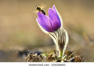 Spring. Beautiful blossoming flower on a meadow with a bee. Natural colorful background for springtime and sunset. Pasque flower (Pulsatilla grandis)