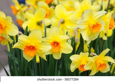 British spring flowers images stock photos vectors shutterstock spring beautiful daffodil field in historic butchart gardens vancouver island british columbia canada mightylinksfo