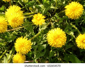 In the spring a beautiful yellow dandelion flower blossomed in the garden (shot by phone)