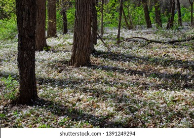 Spring Beauty carpets the forest floor at Fort Custer State Recreation Area in Kalamazoo County, Michigan