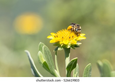 Spring Bee Pollinating