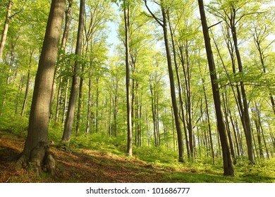 Spring beech forest in the May morning.