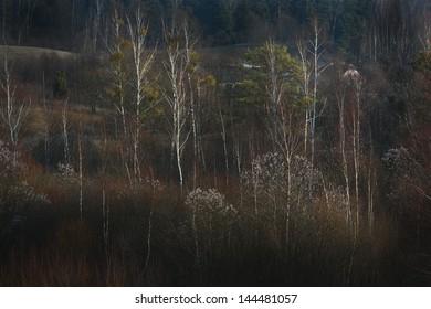 Spring Birch - Shutterstock ID 144481057