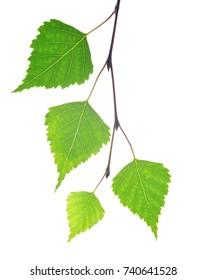 Spring birch branch with green leaves isolated on a white background.