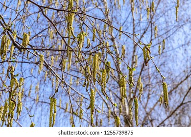 Spring birch catkins on branch without leaves on blue sky background. Birch catkin as Allergy trigger