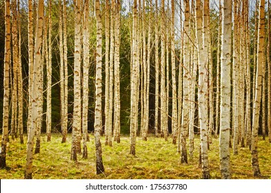 Spring birch environment, textured conceptual image