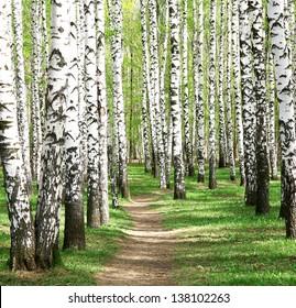 Spring in birch grove