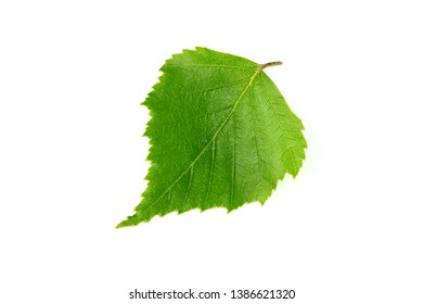 Spring birch leave isolated on white background