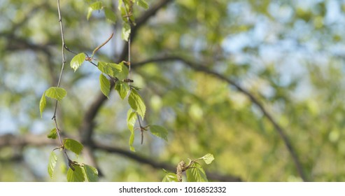 spring birch leaves at sunny day