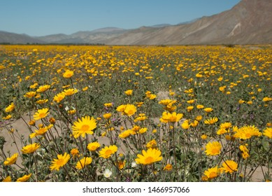 Spring bloom explosion in Anza Borrego Desert State Park (2017) in southern California.