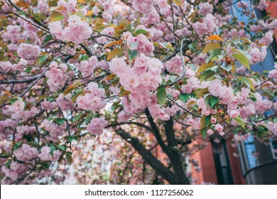 Spring Bloom on the streets of New York City, Spring 2018