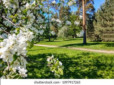 Spring blooming apple tree in spring park garden landscape in Saint-Petersburg, Russia