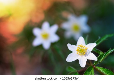 Spring blooming of beautiful white windflower (Anemone nemorosa). Macro view of early-spring flowers. Artistic floral background