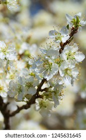 Spring Blooming Bradford Pear Blossoms