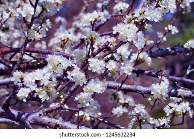 Spring Blooming Bradford Pear Flowers