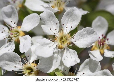 Spring blooming cherry. Petals on a flower cherry
