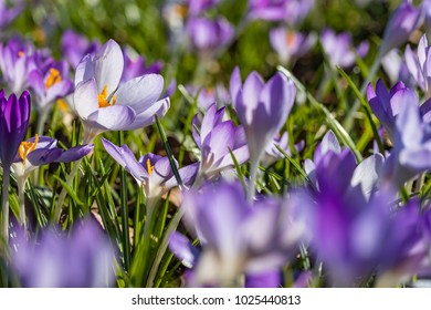 Spring Blooming Crocus imperati. Flower carpet lavender and yellow colour from Crocus in Early Spring in the sunlight. Crocus Iridaceae ( The Iris Family )