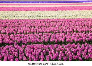 Spring blooming flower field. Fragrant field of hyacinth flowers. Typical Dutch spring landscape.