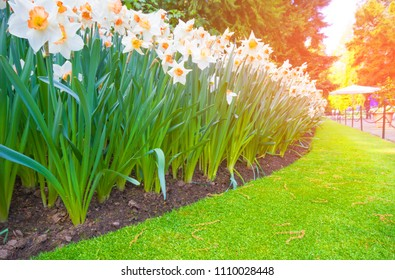 Spring blooming flowers, white daffodils flowers in green grass, springtime blooming narcissus flowers in nature garden with sun shine blurred background.