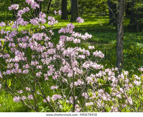 in the spring blooming garden shrub cherry. A Sunny spring day