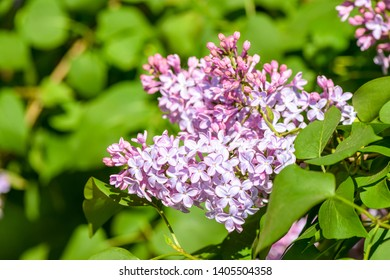 Spring blooming lilac blossom view. Lilac flowers. Lilac flowers close up. Spring blooming lilac flowers