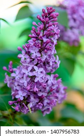 Spring blooming lilac blossom view. Lilac flowers close up. Spring lilac flowers. Lilac branch flowers