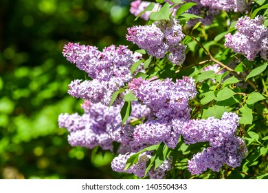 Spring blooming lilac flowers branch