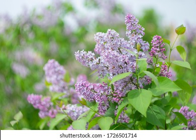 Spring blooming lilac on a blurry background with bokeh effect.