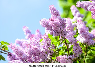 Spring blooming lilac tree flowers. Lilac blossom in spring. Spring lilac blossom view. Lilac flowers in spring scene