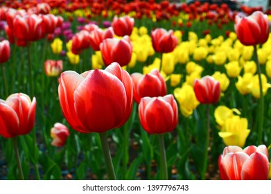 Spring blooming Lucky Strike tulips