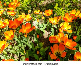 Spring blooming orange flowers view. Orange tulip blooming in spring tulip festival in Saint Petersburg, Russia. Spring blooming orange tulip blossoms