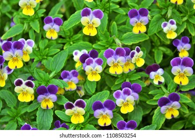 spring blooming pansy flowers background