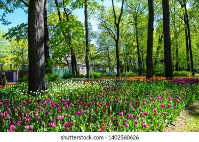 Spring blooming park tulip festival. Tulip festival in russian spring park. Tulips in spring park landscape. Spring blooming tulip festival landscape