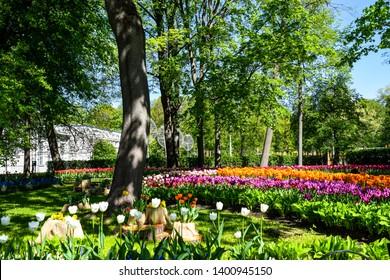 Spring blooming park tulip flowers landscape. Tulip festival in Saint Petersburg, Russia. Spring blooming tulip garden. Spring blooming tulips