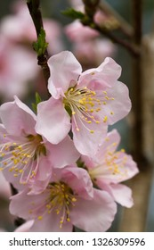 Spring Blooming Pink Peach Blossoms