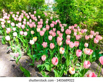 Spring blooming pink tulip blossoms view. Pink tulips blooming in spring garden. Spring blooming pink tulip blossoms