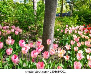 Spring blooming pink tulips view. Pink tulip blossoms in spring garden. Spring blooming pink tulip flowers. Pink tulips in spring bloom