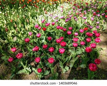 Spring blooming pink tulips view. Tulips in spring blooming garden. Blooming pink tulip flowers in springtime. Spring bloom pink tulips view