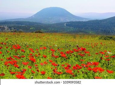 spring blooming of poppies in Galilee near the Nazareth, against the background biblical Mount Tabor, Israel